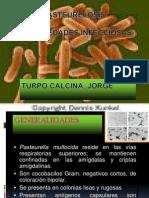 Pasteurella