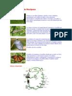 Ciclo Vital de la Mariposa.docx