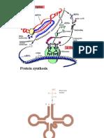 Clase Sintesis de Proteinas 1a Parte