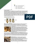 Albina Face Parte Din Ordinul Hymenoptera