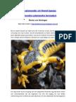 Vuursalamander in Noord-Spanje, Salamandra Salamandra Bernadezi