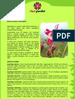 Aquilegia.pdf