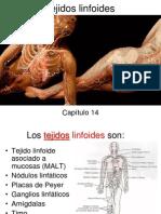 tejido linfatico