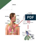 Sistem Respirasi Manusia