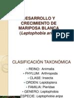 Leptophobia Aripa