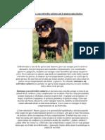 Cómo entrenar a un rottweiler cachorro de la manera más efectiva