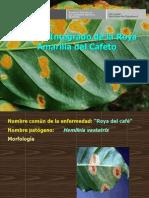 M I de La Roya Amarilla