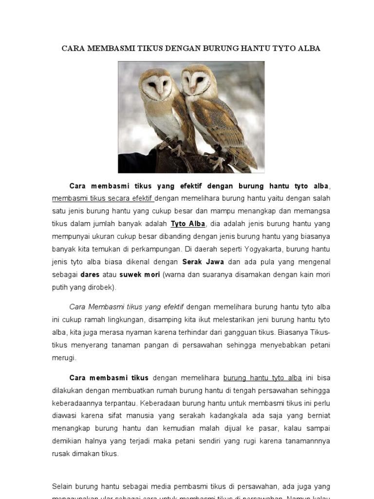 Sarang Burung Hantu Tyto Alba