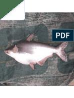 Pemijahan Ikan Patin Siam