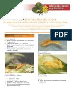 Cécidomyie du blé (2).pdf