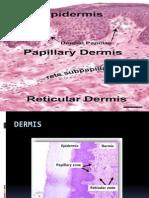 Dermis. Eq7. g1351