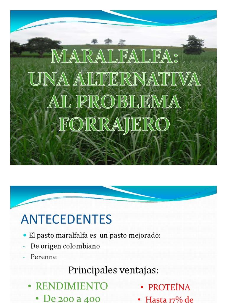 Maralfalfa pdf pasto