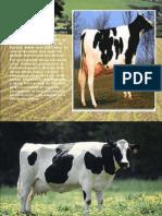 Holstein diapositivas exelentes