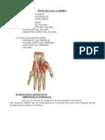 Músculos de la Mano - Ilan