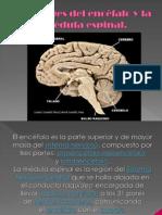 Meninges del encéfalo y la médula espinal
