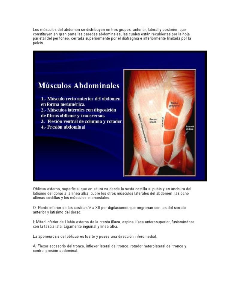 Los músculos del abdomen