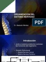 02 -Organización del Sistema Nervioso