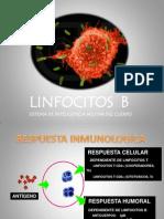 Linfocitos b - Mc