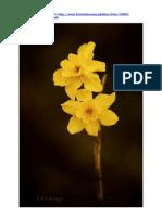Narcissus cerrolazae, fotografías en Internet  (2013)