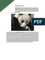 El oso panda un animal en peligro de extinción