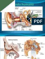El oído humano