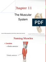 The Muscular System PP