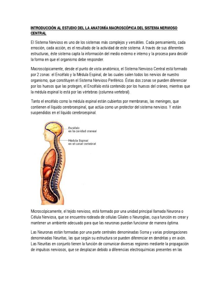 Encantador Anatomía Macroscópica De La Médula Espinal Composición ...