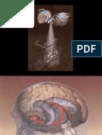 Anatomia Ganglios Basales
