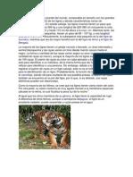 El tigre es el felino más grande del mundo