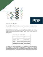 Estructura Acido ARN.docx