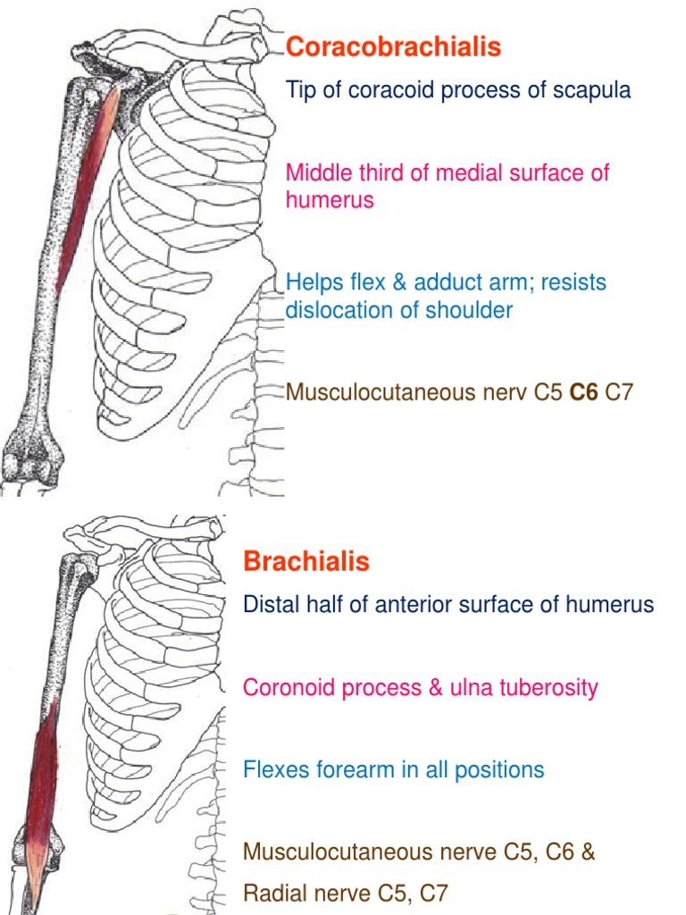 Muscle Flash Cards Vertebra Foot