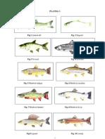 Planşe specii peşti