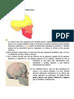 División anatómica de la cabeza ósea.doc