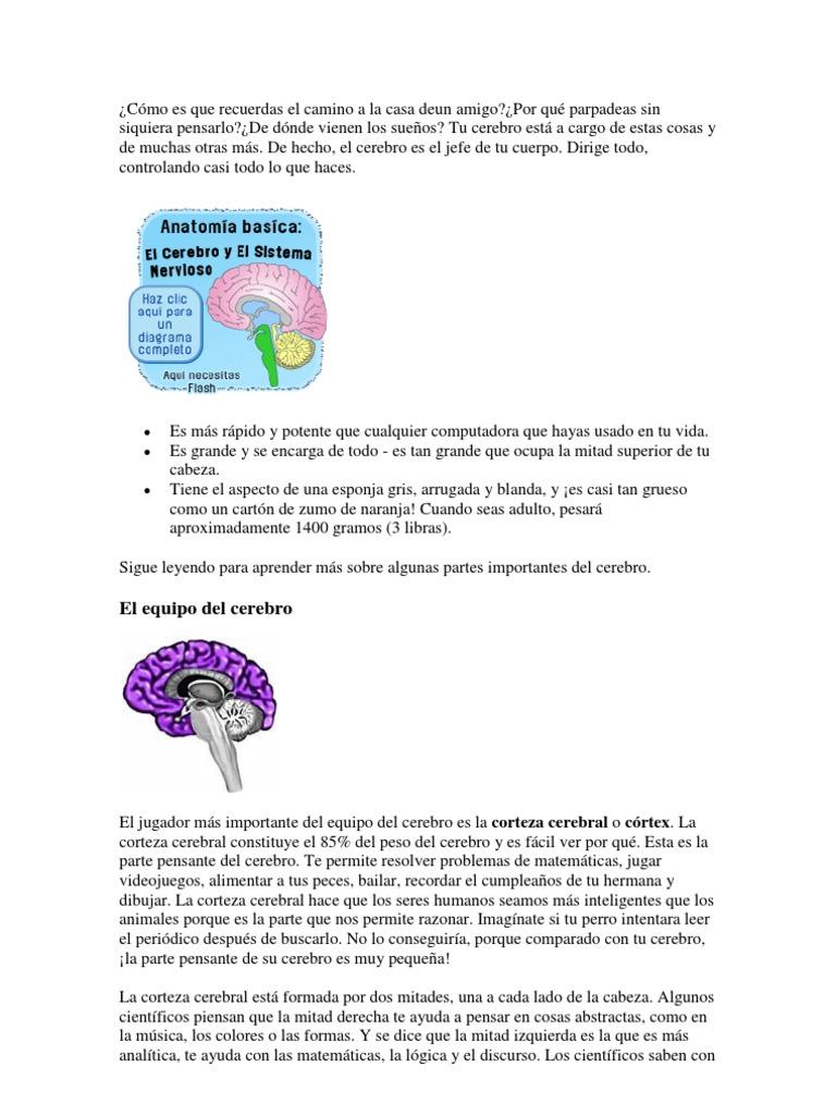 Encantador Anatomía Básica Del Cerebro Embellecimiento - Imágenes de ...