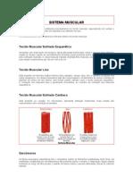 Sistema Muscular Texto