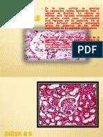 practica 1 rinñon.ovario,testiculo,raiz de cebolla y esofago