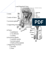Male Genitals and Inguinal Area-Word