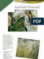 Familia Graminee (Poaceae)