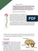 Sistema Nerviosos