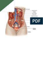 Anatomi Ginjal Dan Saluran