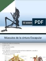 Anatomía músculos