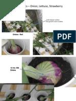 Aquaponics – Onion, Lettuce, Strawberry