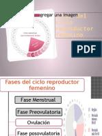 Fases del ciclo reproductor.pptx