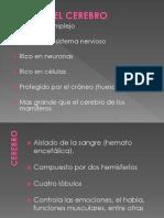 Diapositivas Cerebro