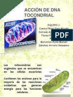EXTRACCIÓN DE DNA MITOCONDRIAL modificada.pdf