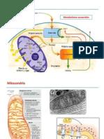 Clase Fosforilacion Oxidativa