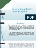 Síntesis y degradación de fosfolípidos