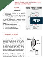 1.Embriología del Aparato Genital en el ser humano. Breve descripción de la diferenciación sexual fenotípica