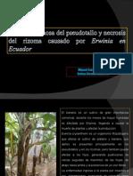 Pudrición acuosa de pseutallo y necrosis del rhizoma causado por erwinia en Ecuador