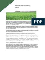 NECESIDADES NUTRICIONALES DE LOS CULTIVOS DE MAIZ.docx